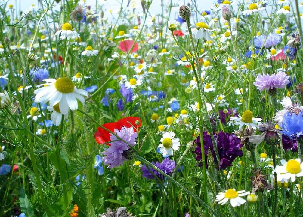 C'est ici que souvent, errant dans les prairies, Ma main, des fleurs les plus chéries Lui faisait des présents si tendrement reçus...