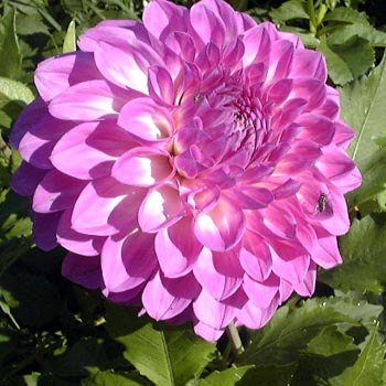 Une belle fleur, rapportée des hauts plateaux mexicains par un botaniste suédois...