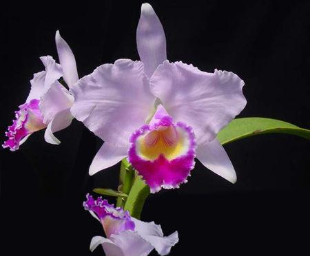 Catleya (ou cattleya), une orchidée originaire d'Amérique centrale.