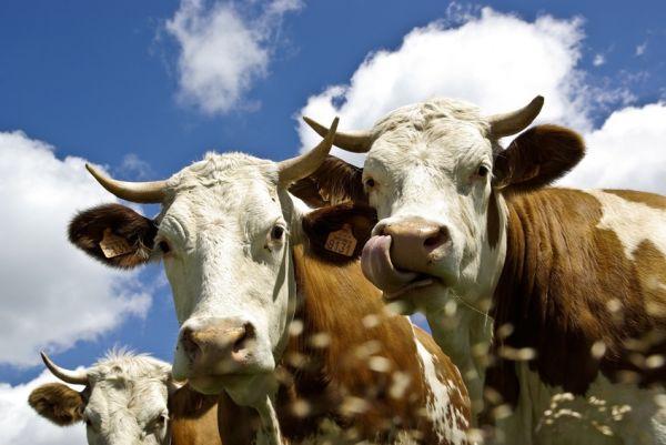 Pendant que les vaches faisaient « Meuh ! », je prom (promouvoir à l'imparfait de l'indicatif - à vous de le conjuguer...) mes fatalatapouettes.